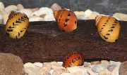 Escargot Tachetée Rouge rouge palourde