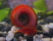 Ramshorn Escargot rouge palourde