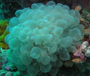 Bubble Coral hellblau