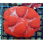 rouge Symphyllia Corail  photo