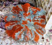 Owl Eye Coral (Button Coral) шаролик
