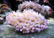 Store Tentacled Plade Koral (Anemone Champignon Coral) pink