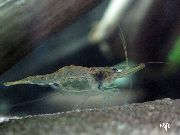 Guine Shrimp Swarm liath