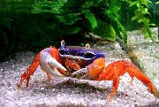 Pacific Land Crab, Rainbow Crab плава