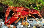 Red Swamp Crayfish плава