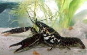 Black Mottled Crayfish црн