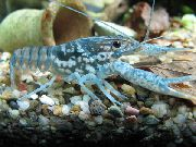 Black Mottled Crayfish плава
