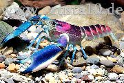 Cherax Hoa Creek blu