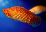 Sailfin Molly Rojo Pescado