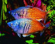 Boesemans Rainbowfish Bont Vis