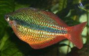 Regal Rainbowfish Златист Риба