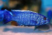 Electric Blue Hap, Electric Blue Cichlid moder Ribe