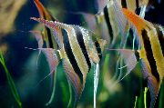 Altum Angelfish Stribet Fisk