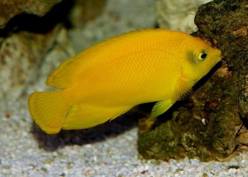 Angelfish black and yellow