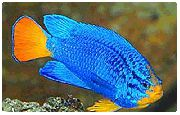 Blue Damselfish Lichtblauw Vis