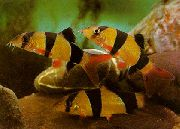 Loach Clown breac iasc