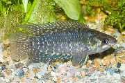Rayé poisson Ctenopoma Fasciolatum  photo