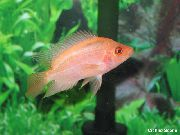 Rose poisson Diable Rouge (Amphilophus labiatus) photo