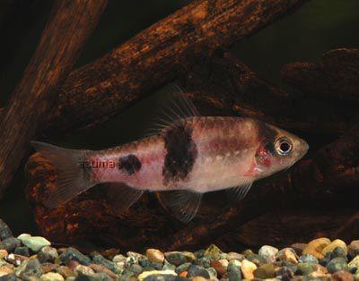 aquarium fish Melon Barb Puntius fasciatus, barbus fasciatus ...