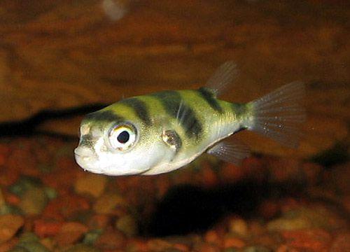 aquarium fish Amazon Puffer Colomesus asellus ?????????