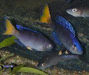 аквариумные рыбки Циприхромис синий для аквариума.