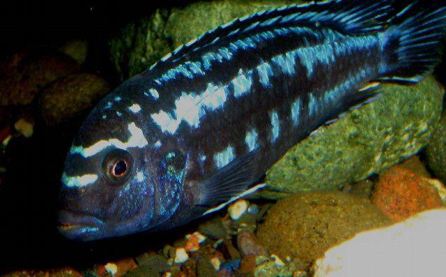 Рыбки меланохромис йохани синий для