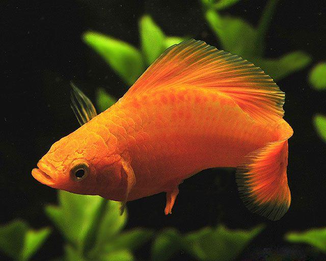 aquarium fish Molly Poecilia sphenops ???????