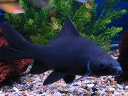 Black Shark Noir poisson