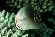Triangular Butterfly Fish Cinza Peixe