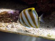 Butterflyfish Sixspine Rayé poisson