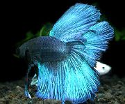 Siamese Fighting Fish Luz Azul Peixe