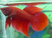 Siamese Fighting Fish Rød Fisk