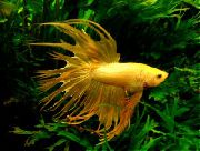 Siamese Fighting Fish Amarelo Peixe