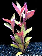 Alternanthera Lilacina Rouge Plante