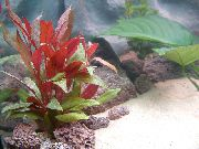 aquarium plant Red hygrophila Alternanthera reineckii