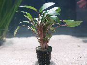 Becketts Cryptocoryne Rot Pflanze