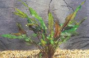 Cryptocoryne Petchii braon Biljka