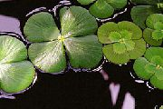 aquarium plant European waterclover Marsilea quadrifolia