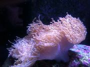 Magnificent Sea Anemone споттед