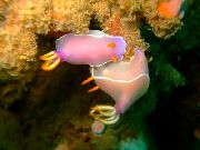 Pink Dorid Nudibranch споттед