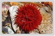 Lampe Anemone rot