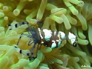 Pacific Clown Anemone Shrimp ყავისფერი