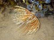 Plumeau Worm (Indian Tubeworm) geel