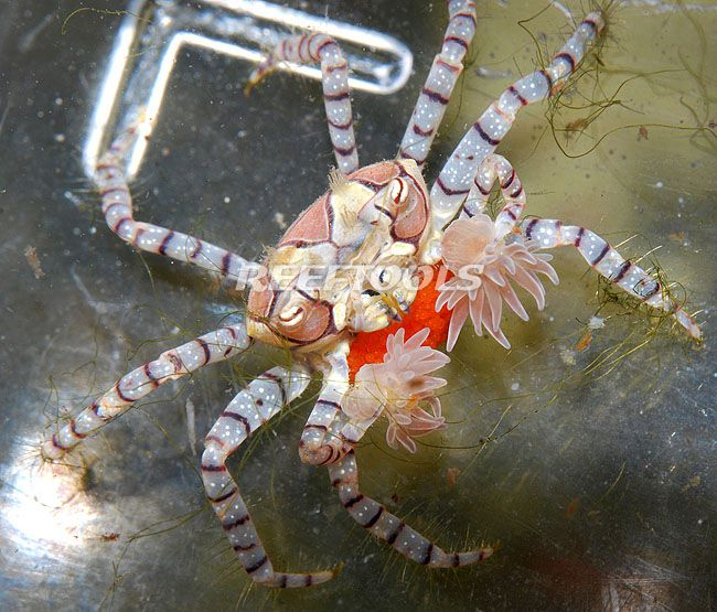 The boxer crabs that rip sea anenomes in two to get food