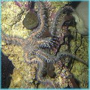 Red Brittle Star (Brittle Sea Star, Knobby Fancy) црвен