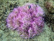 Beaded Sea Anemone (Ordinari Anemone) vložki
